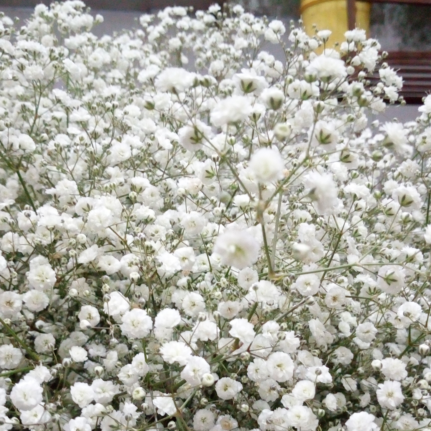 Gypsophila paniculata, 'New Love'
